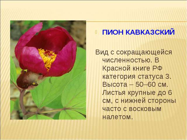 ПИОН КАВКАЗСКИЙ Вид с сокращающейся численностью. В Красной книге РФ категор...
