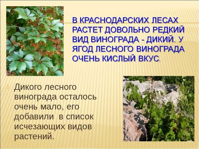 Дикого лесного винограда осталось очень мало, его добавили в список исчезающ...