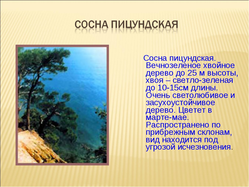 Сосна пицундская. Вечнозеленое хвойное дерево до 25 м высоты, хвоя – светло-...