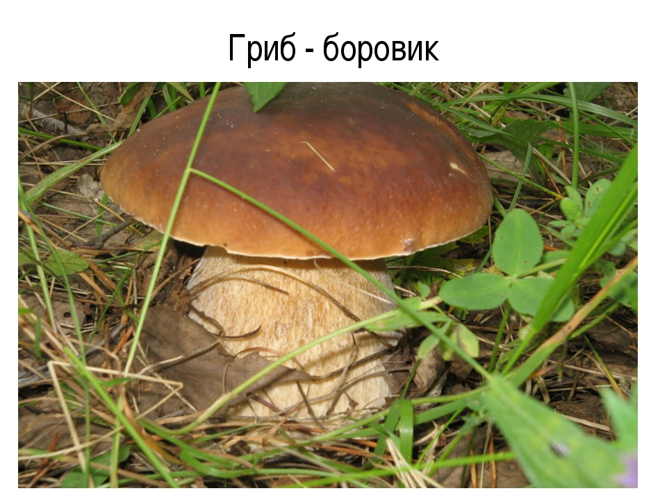 Гриб - боровик