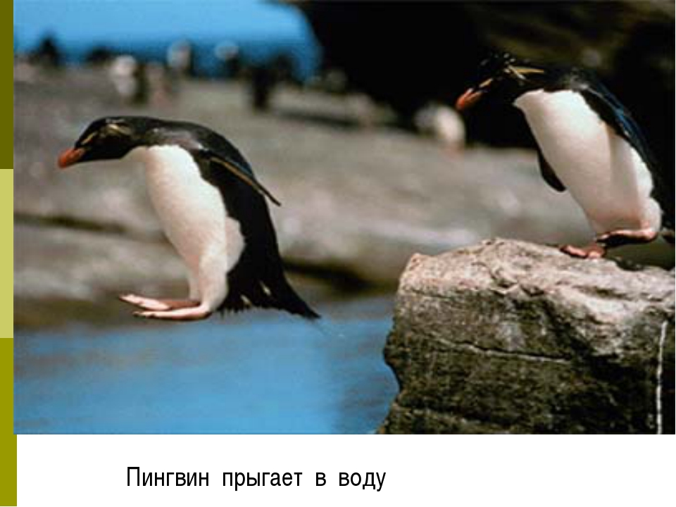 Пингвин прыгает в воду
