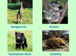 kangaroos koalas Tasmanian devil echidna