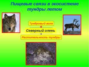 Пищевые связи в экосистеме тундры летом Северный олень