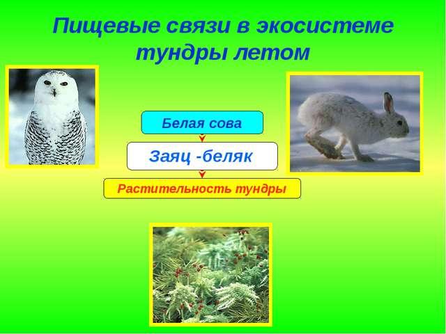 Пищевые связи в экосистеме тундры летом Заяц -беляк