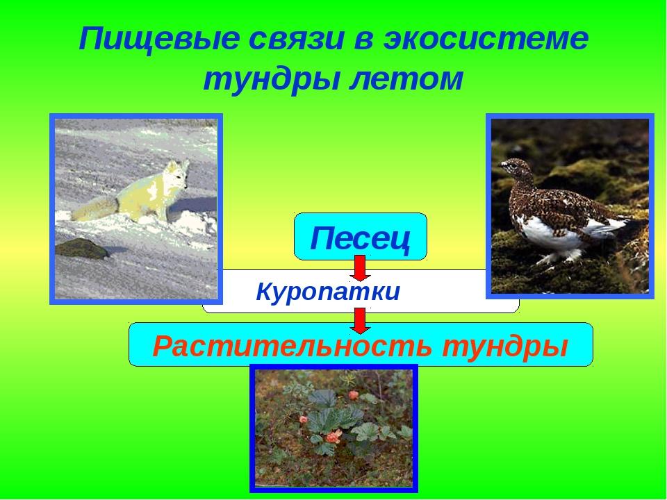 Пищевые связи в экосистеме тундры летом Куропатки
