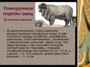 Тонкорунные породы овец. (советский меринос) Из многочисленных пород наиболее