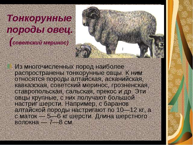 Тонкорунные породы овец. (советский меринос) Из многочисленных пород наиболее...