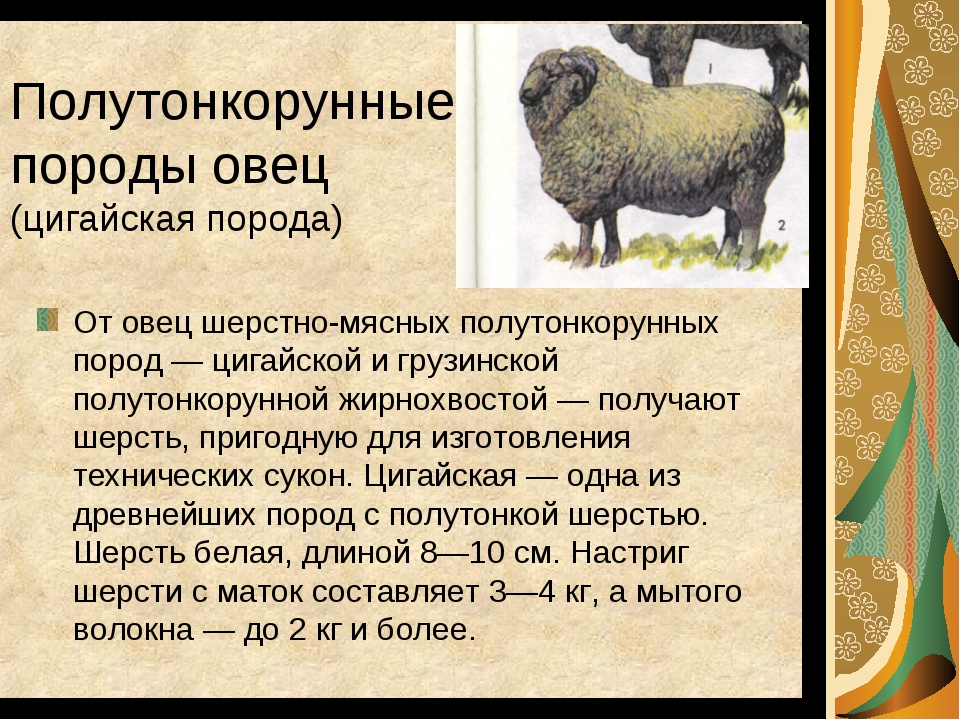 Полутонкорунные породы овец (цигайская порода) От овец шерстно-мясных полутон...