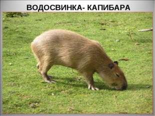 ВОДОСВИНКА- КАПИБАРА