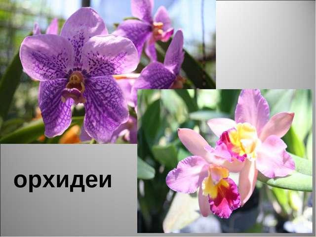 орхидеи География - null