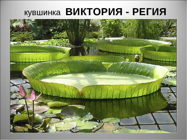 кувшинка ВИКТОРИЯ - РЕГИЯ