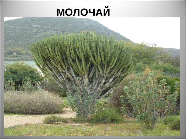 МОЛОЧАЙ