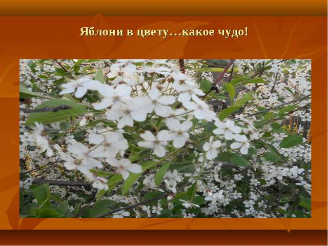 Яблони в цвету…какое чудо!