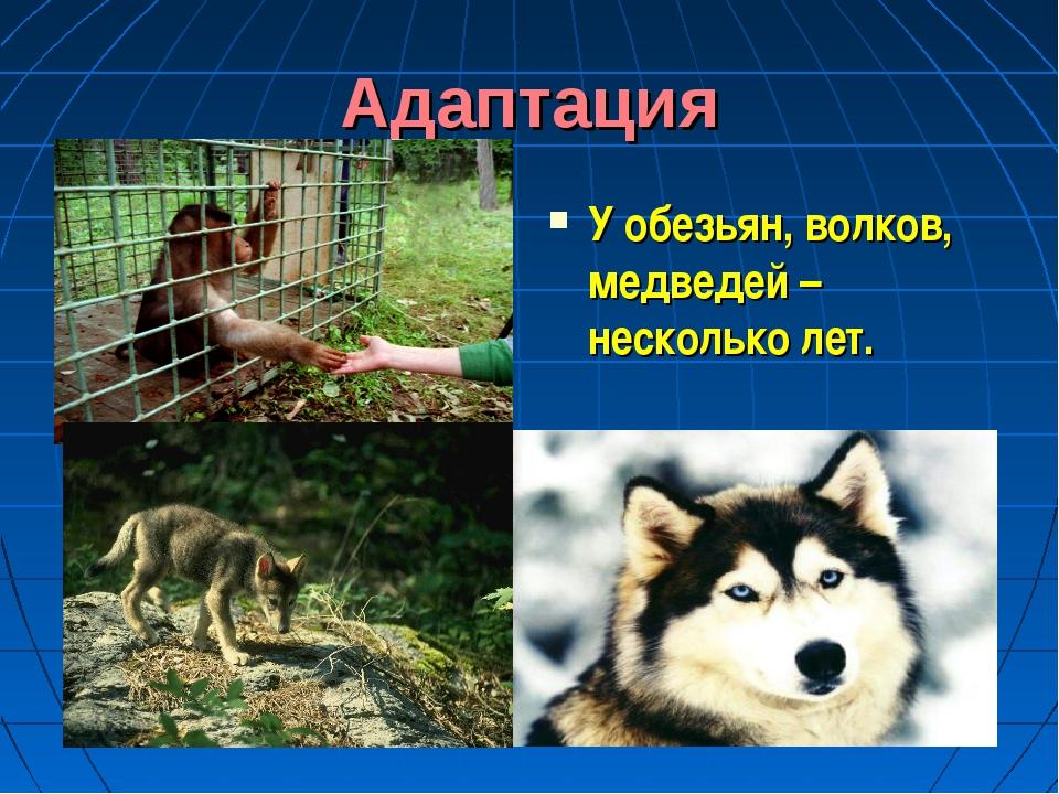 Адаптация У обезьян, волков, медведей – несколько лет.
