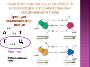 Принцип комплементар-ности: А Т Г Ц * Слабые водородные связи - - - - - - - -
