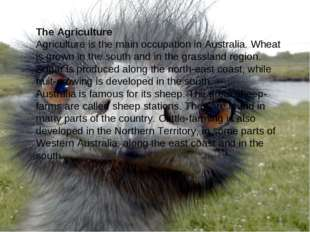 The Agriculture Agriculture is the main occupation in Australia. Wheat is gro