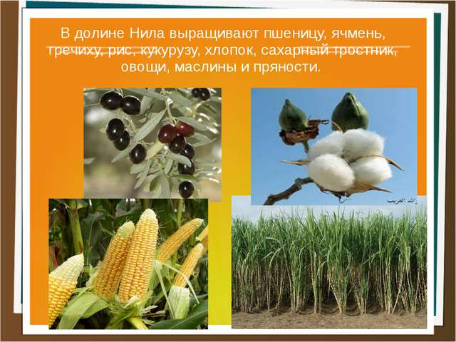 В долине Нила выращивают пшеницу, ячмень, гречиху, рис, кукурузу, хлопок, сах...