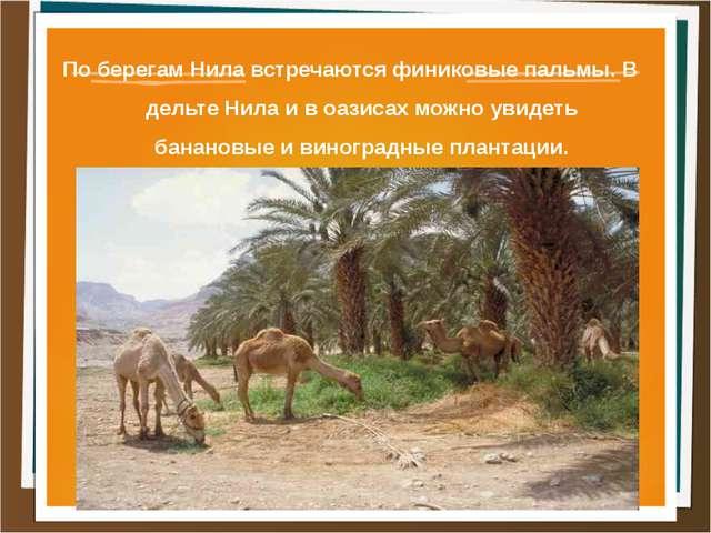 По берегам Нила встречаются финиковые пальмы. В дельте Нила и в оазисах можно...