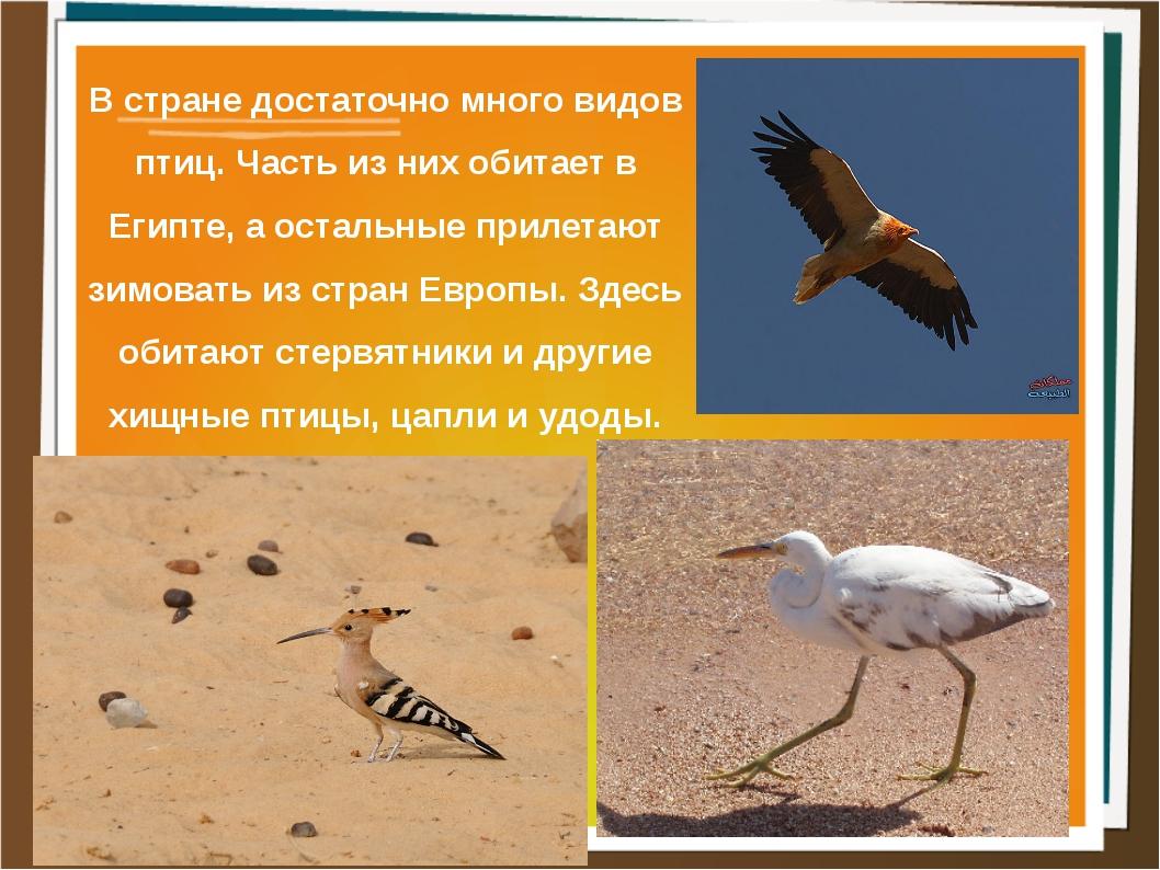 В стране достаточно много видов птиц. Часть из них обитает в Египте, а осталь...