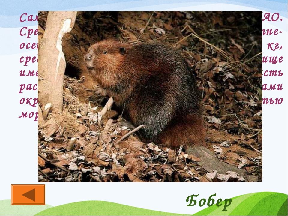 Самый крупный грызун фауны ХМАО. Средний вес взрослого животного в летне-осен...
