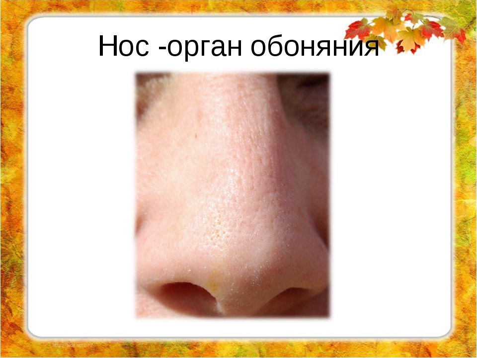 Органы нос картинки