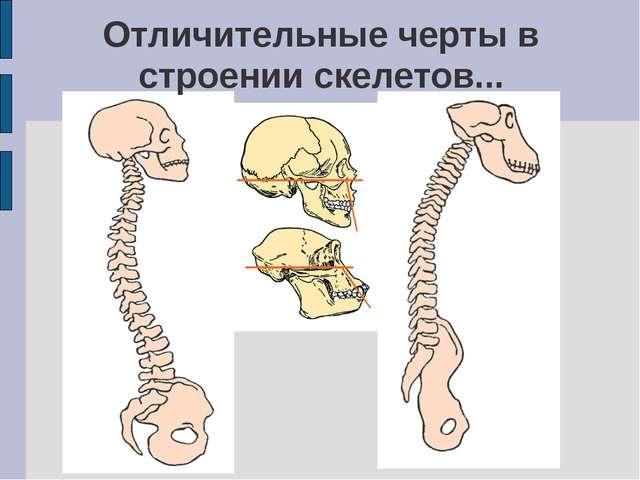 Отличительные черты в строении скелетов...