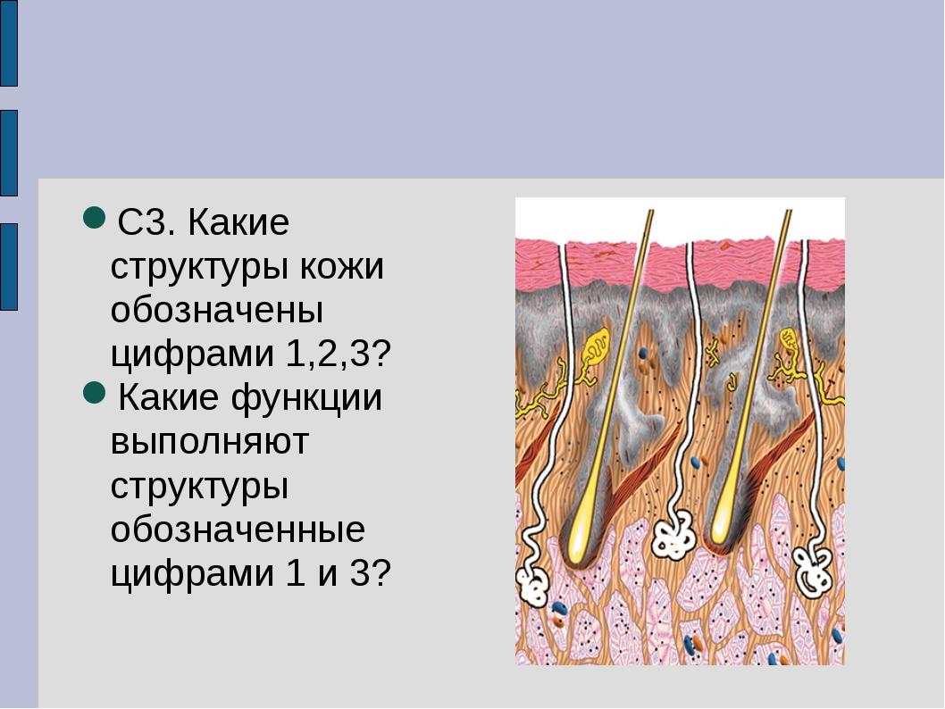 С3. Какие структуры кожи обозначены цифрами 1,2,3? Какие функции выполняют ст...