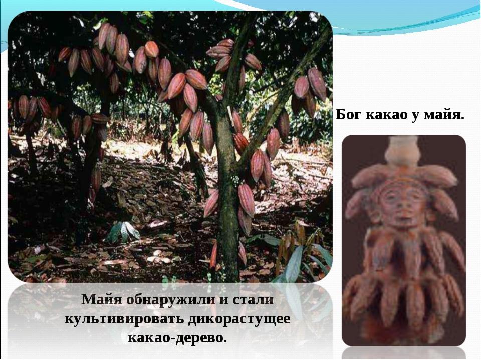 Майя обнаружили и стали культивировать дикорастущее какао-дерево. Бог какао у...