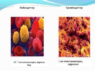 Ақ қан клеткалары, ядросы бар Лейкоциттер Қан пластинкалары, ядросыз Тромбоци
