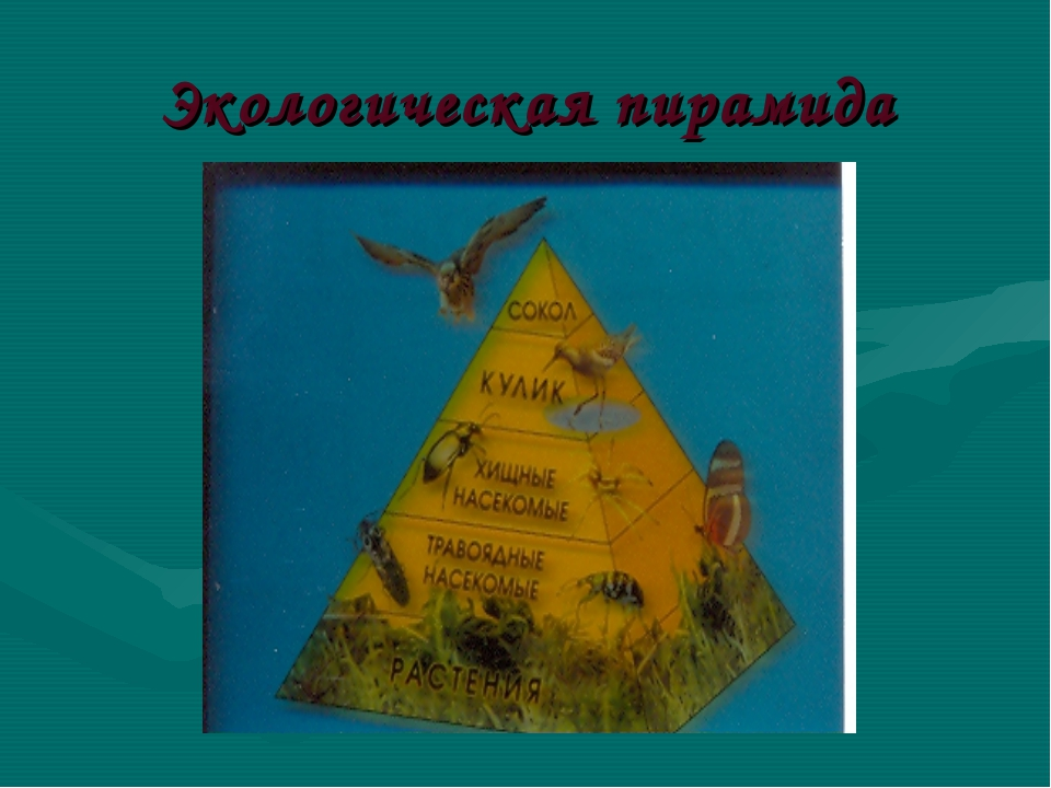 Экологическая пирамида