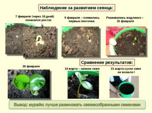 7 февраля (через 10 дней) показался росток 9 февраля – появились первые листо