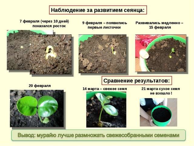 7 февраля (через 10 дней) показался росток 9 февраля – появились первые листо...