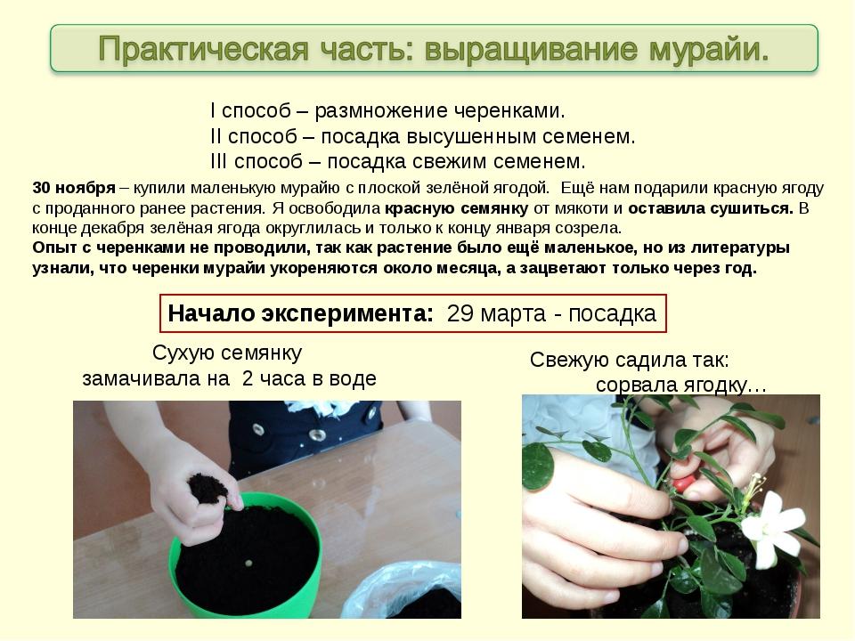 Начало эксперимента: 29 марта - посадка 30 ноября – купили маленькую мурайю с...