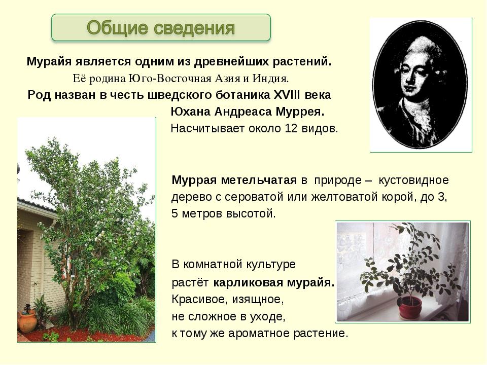 Мурайя является одним из древнейших растений. Её родина Юго-Восточная Азия и...