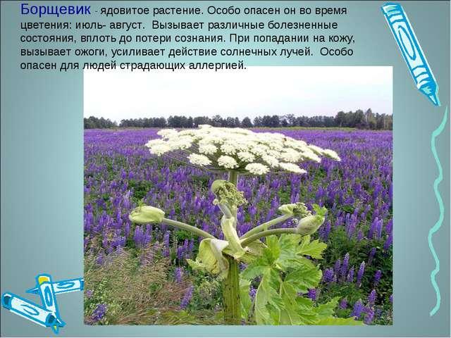 Борщевик - ядовитое растение. Особо опасен он во время цветения: июль- август...