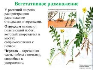 Вегетативное размножение У растений широко распространено размножение отводк