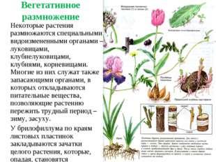 Вегетативное размножение Некоторые растения размножаются специальными видоиз