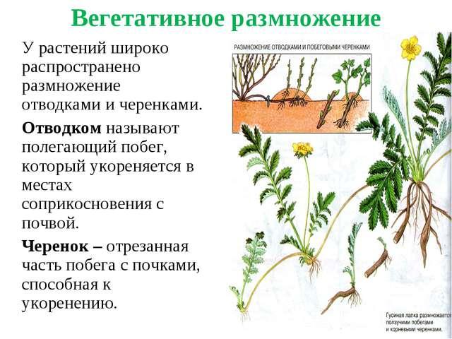 Вегетативное размножение У растений широко распространено размножение отводк...