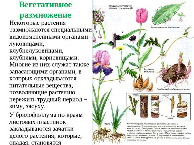 Вегетативное размножение Некоторые растения размножаются специальными видоиз...