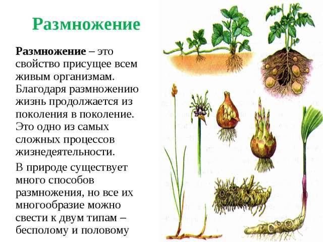 Размножение Размножение – это свойство присущее всем живым организмам. Благо...