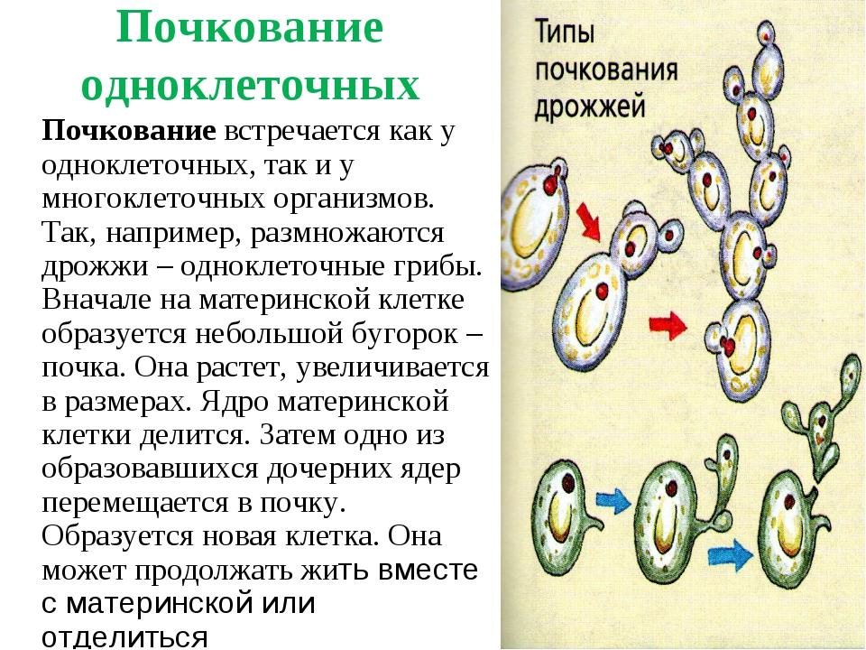 Почкование одноклеточных Почкование встречается как у одноклеточных, так и у...