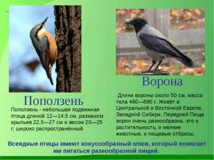 Длина вороны около 50см, масса тела 460—690 г. Живёт в Центральной и Восточ