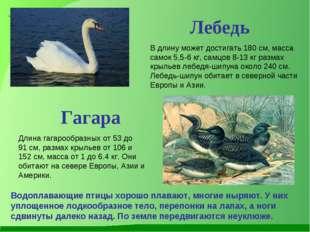 Лебедь В длину может достигать 180 см, масса самок 5,5-6 кг, самцов 8-13 кг р