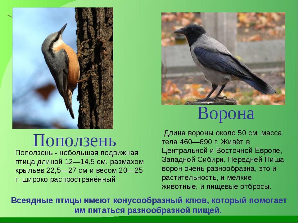 Длина вороны около 50см, масса тела 460—690 г. Живёт в Центральной и Восточ...