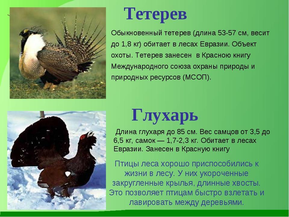 Обыкновенный тетерев (длина 53-57 см, весит до 1,8 кг) обитает в лесах Еврази...