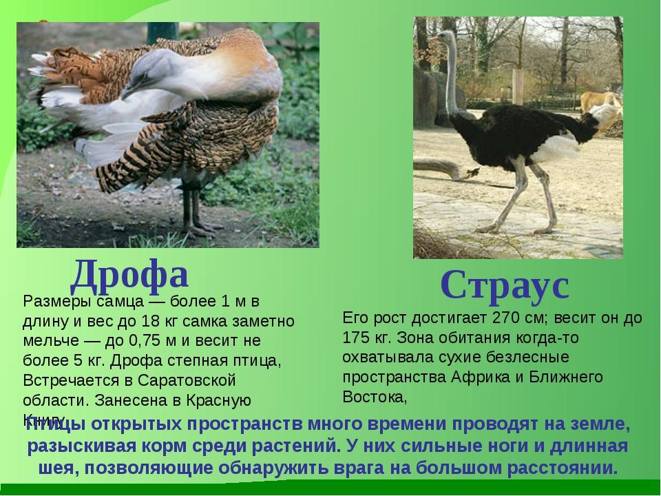 Размеры самца — более 1 м в длину и вес до 18 кг самка заметно мельче — до 0,...
