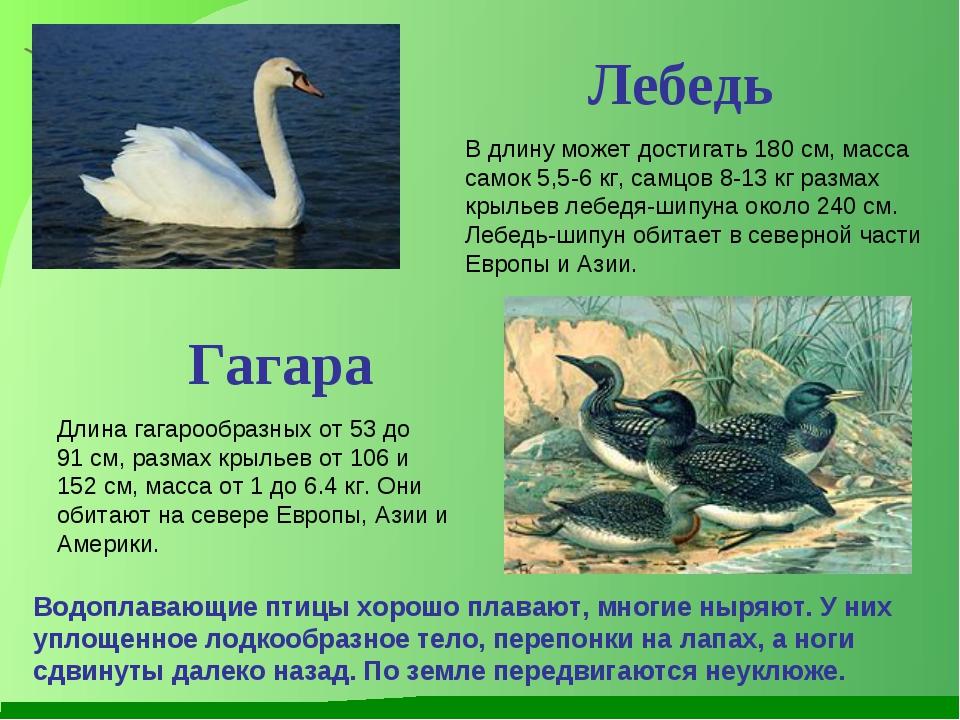Лебедь В длину может достигать 180 см, масса самок 5,5-6 кг, самцов 8-13 кг р...