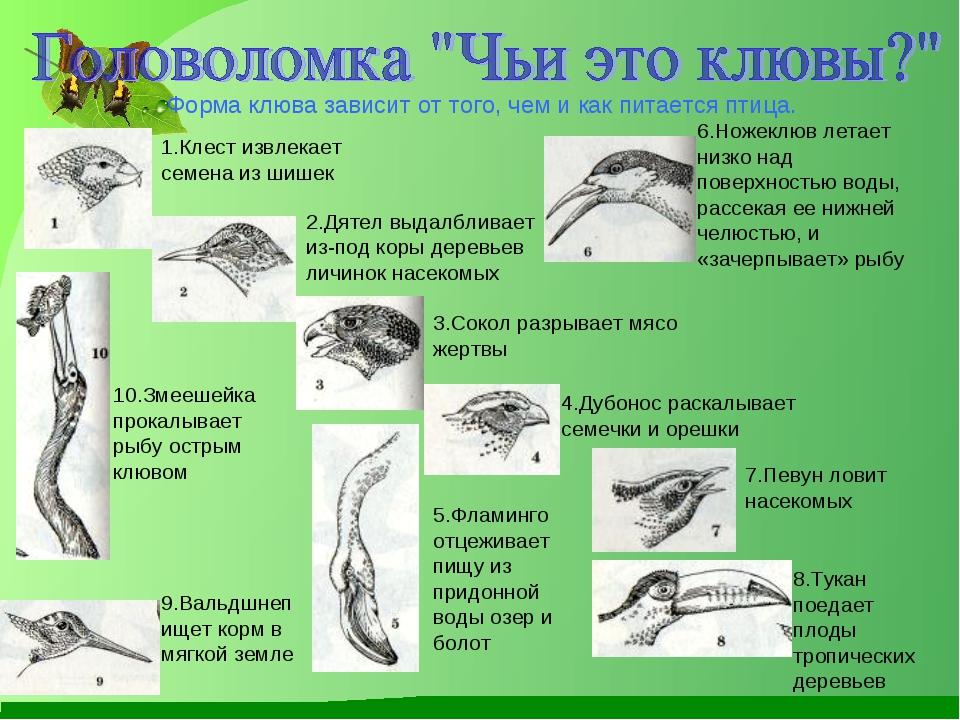 Форма клюва зависит от того, чем и как питается птица. 1.Клест извлекает семе...