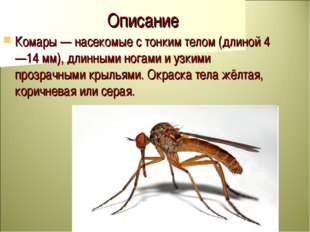 Описание Комары — насекомые с тонким телом (длиной 4—14 мм), длинными ногами