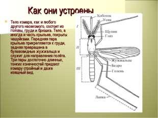 Как они устроены Тело комара, как и любого другого насекомого, состоит из гол